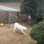 芝生を掘る宗!