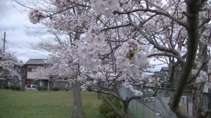 ぞうさん公園の桜