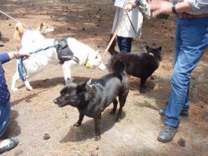 甲斐犬と北海道犬