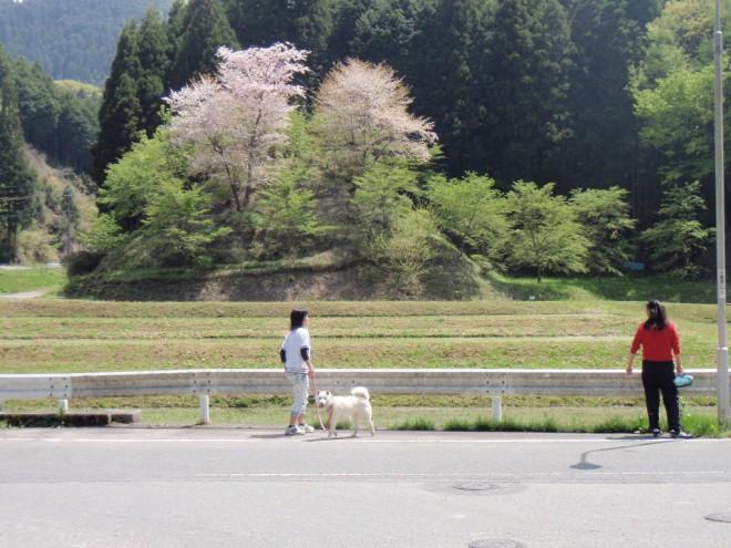 山桜がきれい