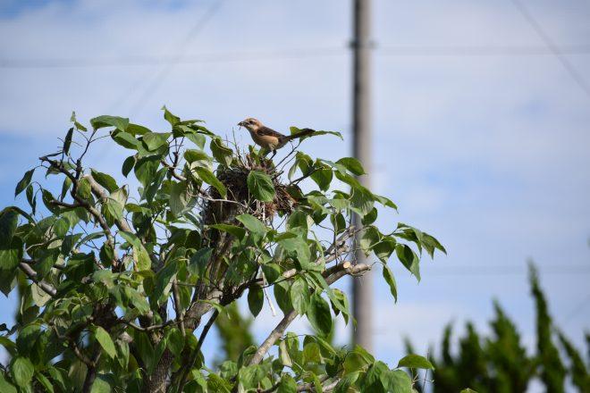 百舌鳥の親