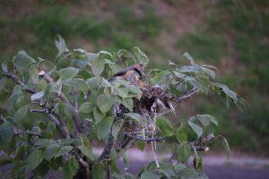 百舌鳥の巣