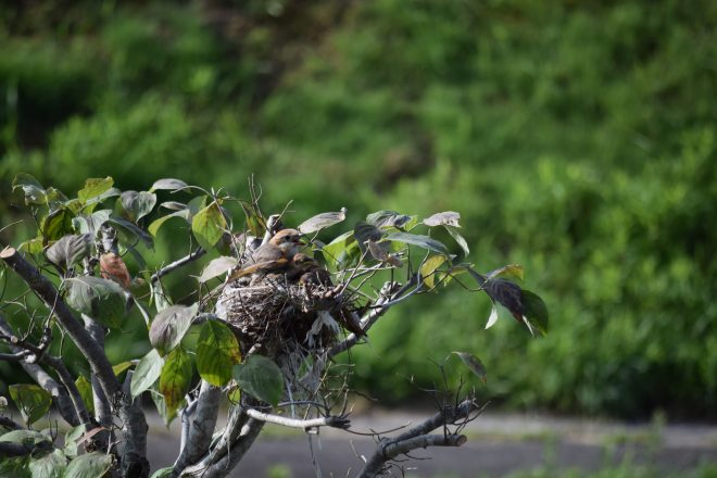 日陰を作る親鳥