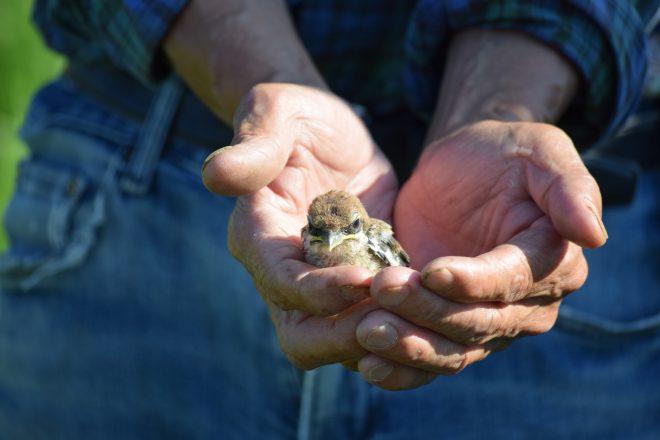 巣に戻る雛