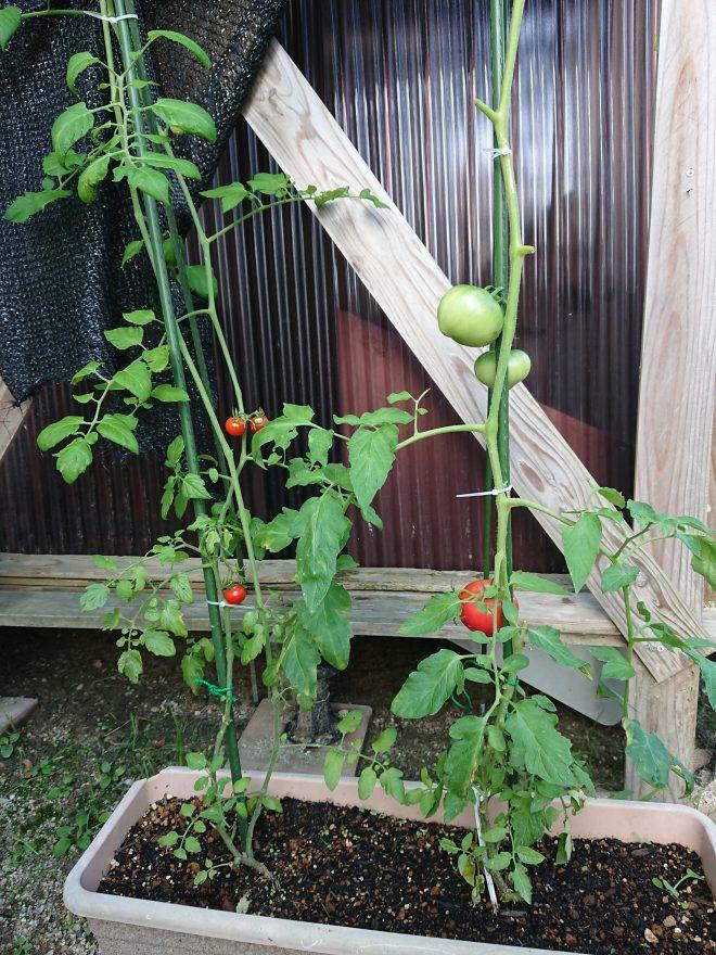 みゆのトマト