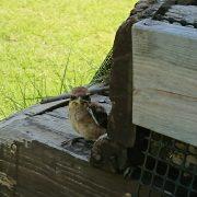 百舌鳥の雛